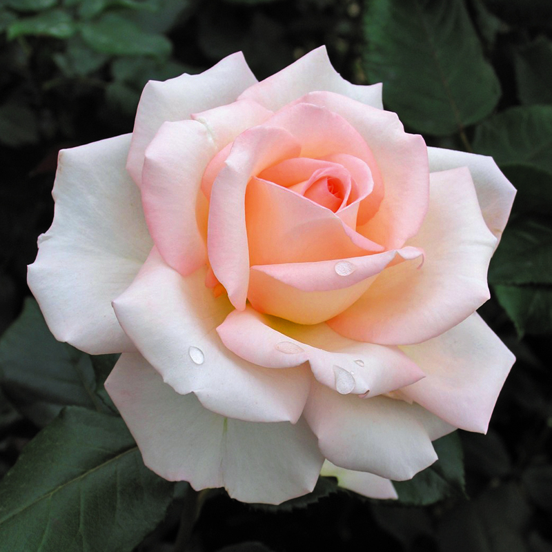 Rose Bloom of Ruth (HARmedley) Harkness 2010���� ���� �� ���. ������� ���� ����� � ���������� �������� ������� � ����������� ���������, �� ������� �������� � �����������, � ������������ ��������� ������ ������� ������� �������. �������� ��������, ���������. ����������, ��������� �������� ����. �������� �������� ������.